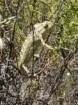 Chameleon in a nature reserve in the Algarve