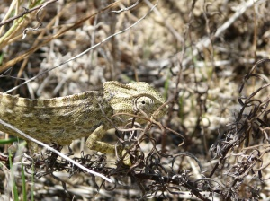 Chameleon in Olhao nature Reserve