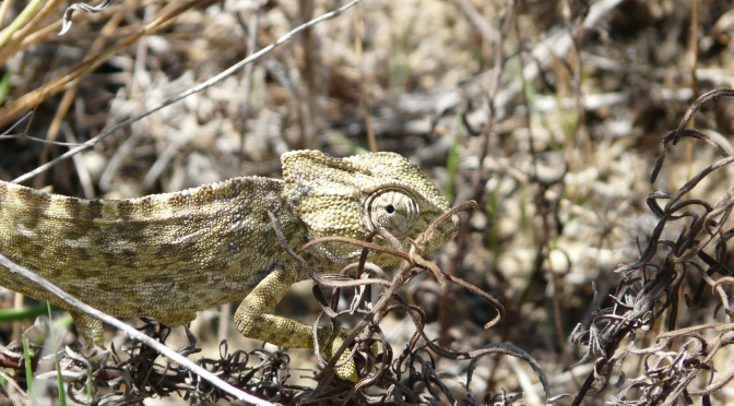 Karma Chameleon in the Algarve. A walk round the Quinta Marim reserve by Olhao.