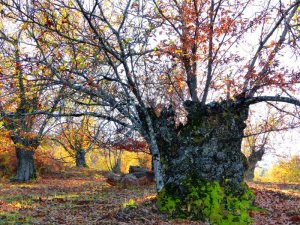 Old chestnut trees in the Sierra Aracena