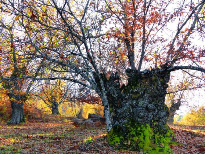 An Autumn Walk in the Sierra Aracena. The falling leaves of the ancient trees. The photography and Art of Ruth Koenigsberger