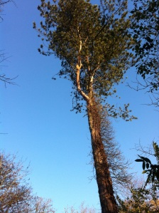 Blue skies and tall pine for blue sky thinking!