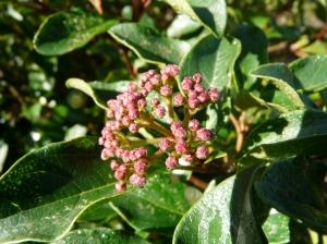 Wild Viburnum tinus