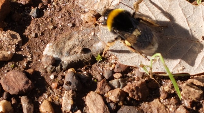 The White tailed Bumblebee; A persona poem.