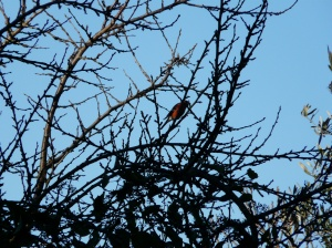 bl bullfinch againfrosty days end Feb march 2016 077