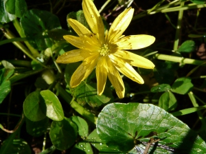 bl celandine frosty days end Feb march 2016 078