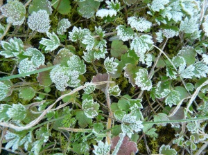 bl frost on leaves frosty days end Feb march 2016 037