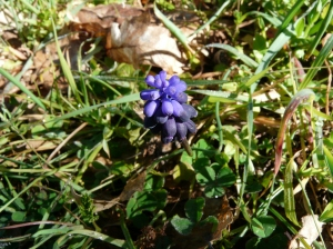 bl grape hyacinth frosty days end Feb march 2016 085