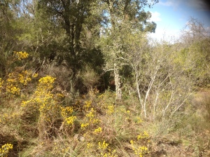 Halimium on the yellow hillside
