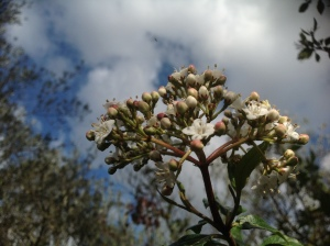 Viburnum Tinus, Raven in clouds above?