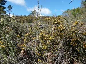 Navasola East hillside with winged broom and halimium