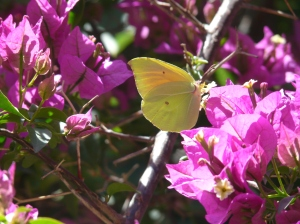 Brimstone or powdered brimstone found on Rhodes