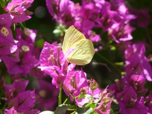 Brimstone on Bouganvillea outside Petaloudes