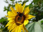red admiral on sunflower in London