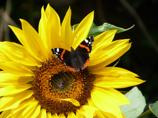 Summer journeys almost over: butterflies, bees and boars.