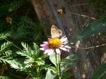 wall brown on echinacea in Spain