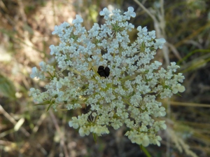 Daucus carota= wild carrot thrives in July and August
