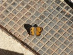 Butterfly on a drain!