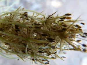 Seed pod of Daucus Carota, wild carrot