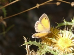 Butterfly on thistle.