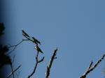 Bee eaters seen on one of our dog walks.