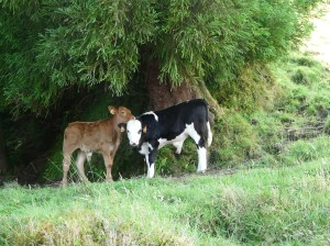 Imported Cow culture under endemic juniper tree .Each island produces tasty cheese for export.