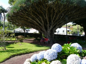 Park in Horta with enmic Draco tree in background and the ubiquitous introduced hydrangea. Blue on iron filled soil.