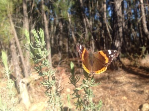 Red Admiral on footpath to Galaroza, Vanessa Atlanta