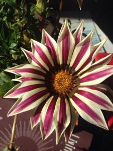A popular garden flower; a gazania