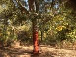 Newly corked cork tree on Galaroza path