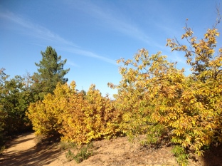Stunted chestnuts on high ridge on path