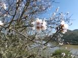 Ash bl almond blossom