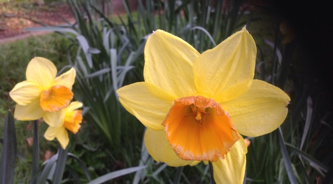 Daffodils In a Garden for Peace