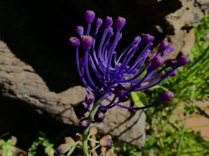 p-3-tassel-hyacinth-r.jpg